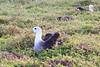 Waved_Albatross_0001