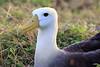 Waved_Albatross_0004