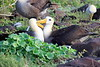 Waved_Albatross_0022
