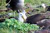 Waved_Albatross_0025