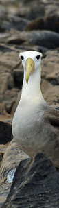 Albatross, Waved neck DSC01574ed