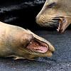 Ecuador. Galapagos Sea Lions greet each other.