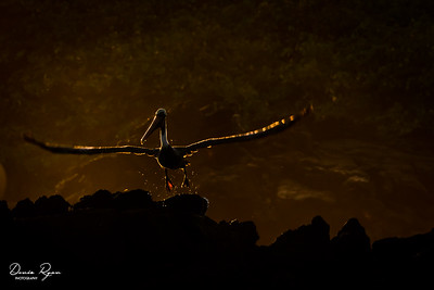 Brown Pelican at Sunset