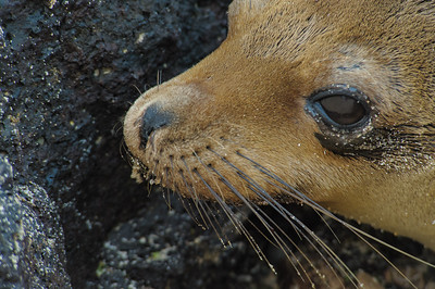 Sea Lion - Eye to Eye