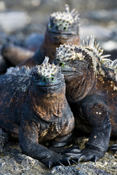 Ecuador. Marine Iguanas soaking up the sun in the Galapagos islands.