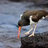 Galapagos Oystercatcher. Galapagos Islands. Ecuador