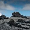 Marine Iguanas on Rock, Isabela Island