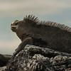 Huge Marine Iguana, Isabela Island
