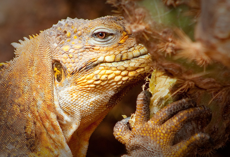 """""""Puff the Magic Dragon""""<br /> As a true dweller of the seaside, the Galapagos Land Iguana has struggled over the years to avoid the onslaught on human settlement that brought with it dogs, cats and other """"domesticated"""" flora and fauna that on some islands led to this land resident's extinction."""
