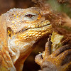 """Puff the Magic Dragon""<br /> As a true dweller of the seaside, the Galapagos Land Iguana has struggled over the years to avoid the onslaught on human settlement that brought with it dogs, cats and other ""domesticated"" flora and fauna that on some islands led to this land resident's extinction."
