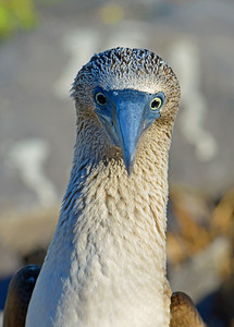 Catching a stare from a Blue-Footed Booby