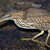 Ecuador. A Striated Heron eating a small crab in the Galapagos Islands.