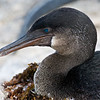 Ecuador. Flightless Cormorant sitting on a nest of seaweed on Fernanadina Island in the Galapagos.