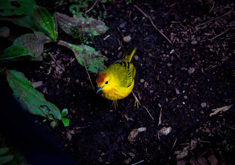 """""""Yellow Bird""""<br /> The yellow warbler is a conspicuous sight in the Galapagos due it being the only bright yellow bird that calls the islands home.  Feasting on shoreline bug treats, seeds of fruits in the islands or in this case begging from an unsuspecting tourist!"""