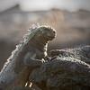 Marine Iguana Profile II