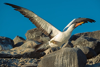 Nazca Booby takes flight