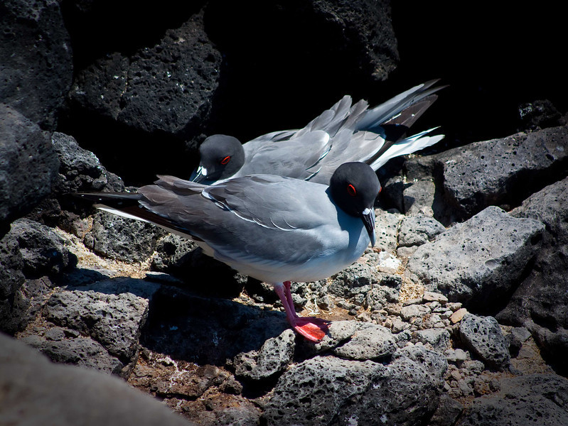 """""""Red Eye Flight""""<br /> As an endemic species to the Galapagos the Swallow Tailed Gull has a unique beaded red eye that appears during mating season.  This breed is the only nocturnal gull in the world, flying for miles offshore to fish in the dark hours of the night."""