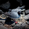 """Red Eye Flight""<br /> As an endemic species to the Galapagos the Swallow Tailed Gull has a unique beaded red eye that appears during mating season.  This breed is the only nocturnal gull in the world, flying for miles offshore to fish in the dark hours of the night."