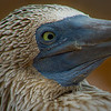 """Eyes on You""<br /> Truly exceptional.  The Blue Foot Booby steals your heart and may stare deep into your soul."