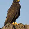 The rare Galapagos Hawk is an endemic species in the Galapagos Islands.