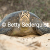 Sea Turtle Emerges from Nest