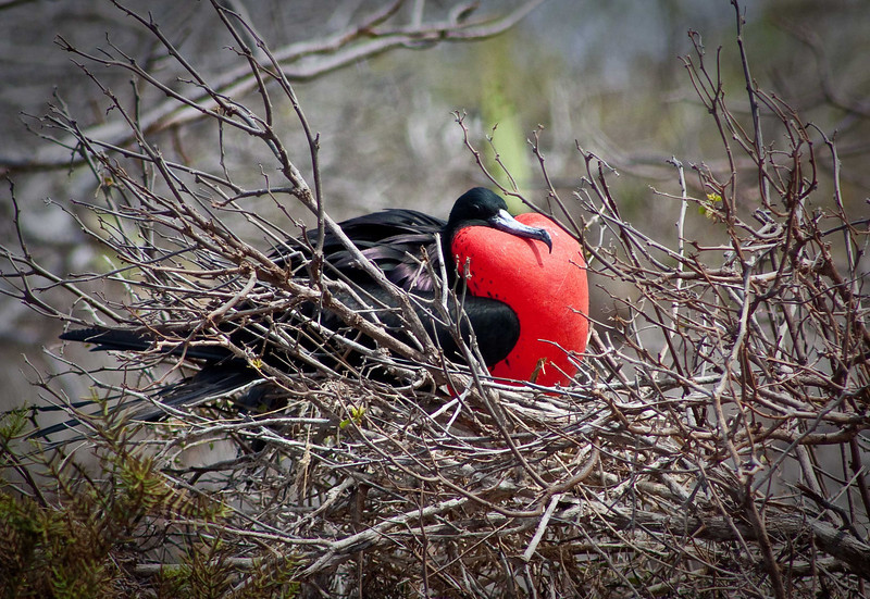 """""""The Little Red Rooster""""<br /> A male Frigate Bird shows off his marvel in hopes of attracting a hen.  These stunning birds have the largest wingspan to weight ratio of any bird on the planet, making them the soaring wonders of the Galapagos Islands."""