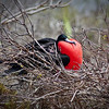 """The Little Red Rooster""<br /> A male Frigate Bird shows off his marvel in hopes of attracting a hen.  These stunning birds have the largest wingspan to weight ratio of any bird on the planet, making them the soaring wonders of the Galapagos Islands."