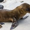 Ecuador. Galapagos Sea Lion pup on the beach.