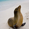 Ecuador. A sea lion poses on a beach in the Galapagos Islands.
