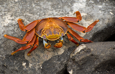 Sally Lightfoot Crab Hunting