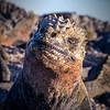 Marine Iguana Portrait