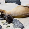 Ecuador. A female sea lion and her young pup rest on a beach in the Galapagos Islands.