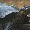 The endangered Galapagos Tortoise is endemic to the Galapagos Islands.
