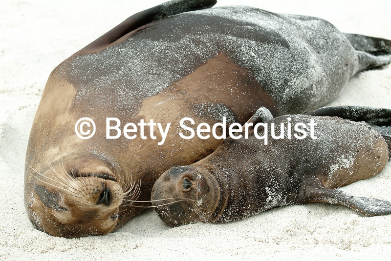 Mama Galapagos Sea Lion and Baby