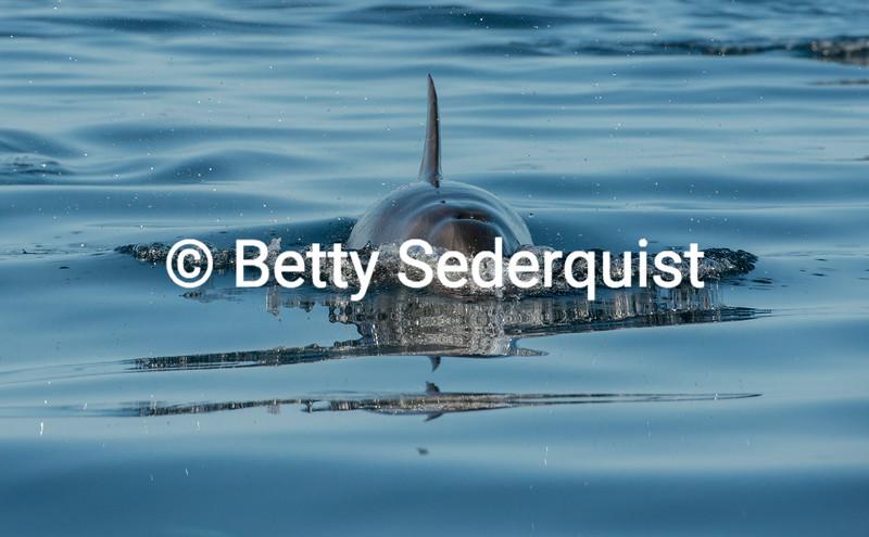 Inbound Bottlenose Dolphin