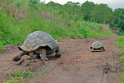 Giant Galápagos Tortoises on a race