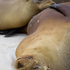 Ecuador. A sea lion nurses her young in the Galapagos Islands.