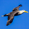 Ecuador. A Waved Albatross, a critically endangered species, flies on Espaniola Island in the Galapagos.