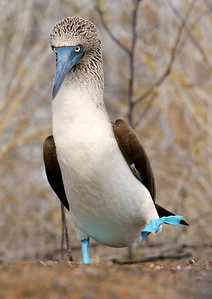 Angry Bird (Blue-Footed Booby)