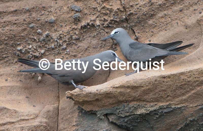 Brown Noddy Tern, Galapagos.