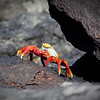 """Lay Down Sally""<br /> The Sally Lighfoot crab is a colorful, abundant and sometimes very entertaining critter found among the rocks of the archipelago"