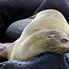 Ecuador. Sea lion sleeping among the rocks in the Galapagos Islands.