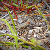 """Redneck Girl""<br /> This female lava lizard does well to hide in the flora along the coast line.  She is only about 5 inches in length and never would have been spotted without the movement that caught the photographer's eye."