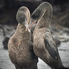 Flightless Cormorant Mating Dance II