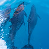 Bow Riding Dolphins, Galapagos