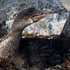 Ecuador. Flightless Cormorant sitting on a nest of seaweed on Fernanadina Island in the Galapagos.