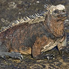 Ecuador. Marine Iguana soaking up the sun in the Galapagos islands.