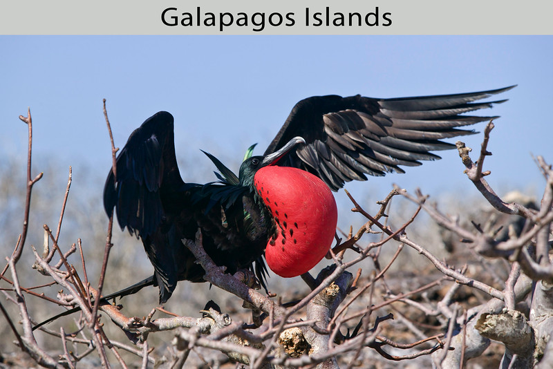 A Great Frigatebird shakes its inflated gular pouch and spreads its wings in an awesome display as other frigatebirds fly overhead. By Ted Cheeseman in May 2004.