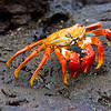 Ecuador. A Sally Lightfoot Crab, with its brilliantly colored carapace,  is one of the most recognizable inhabitants of the Galapagos Islands.