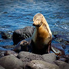 """Pure Love""<br /> Unconditional love shines through in this image of a mommy sea lion and her two week old pup."